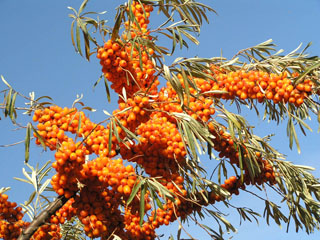 Russian Sea Buckthorn