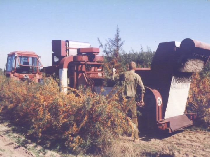 Sanddornernte - sea buckthorn harvest